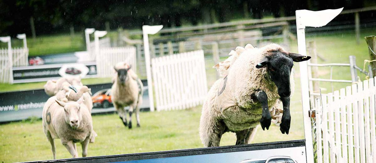 Sheep Racing