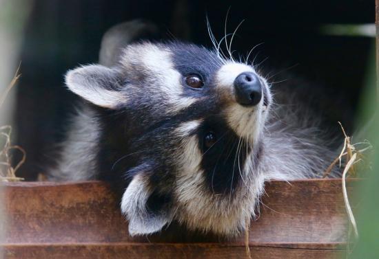 Raccoon Experience