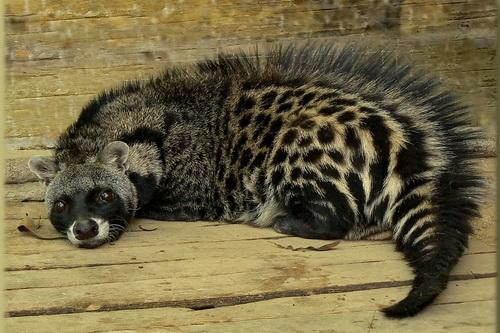 African Civets