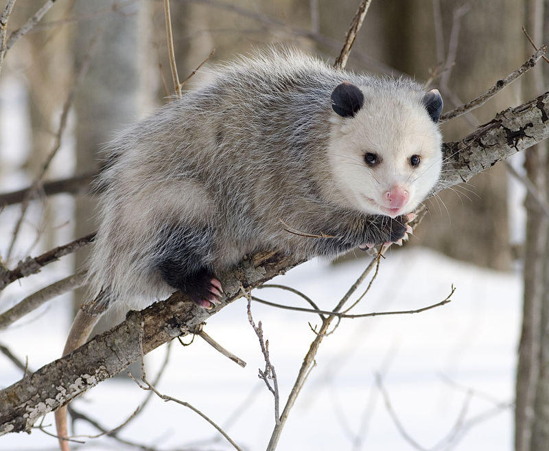 Hoo Farm welcomes Virginia Opossum
