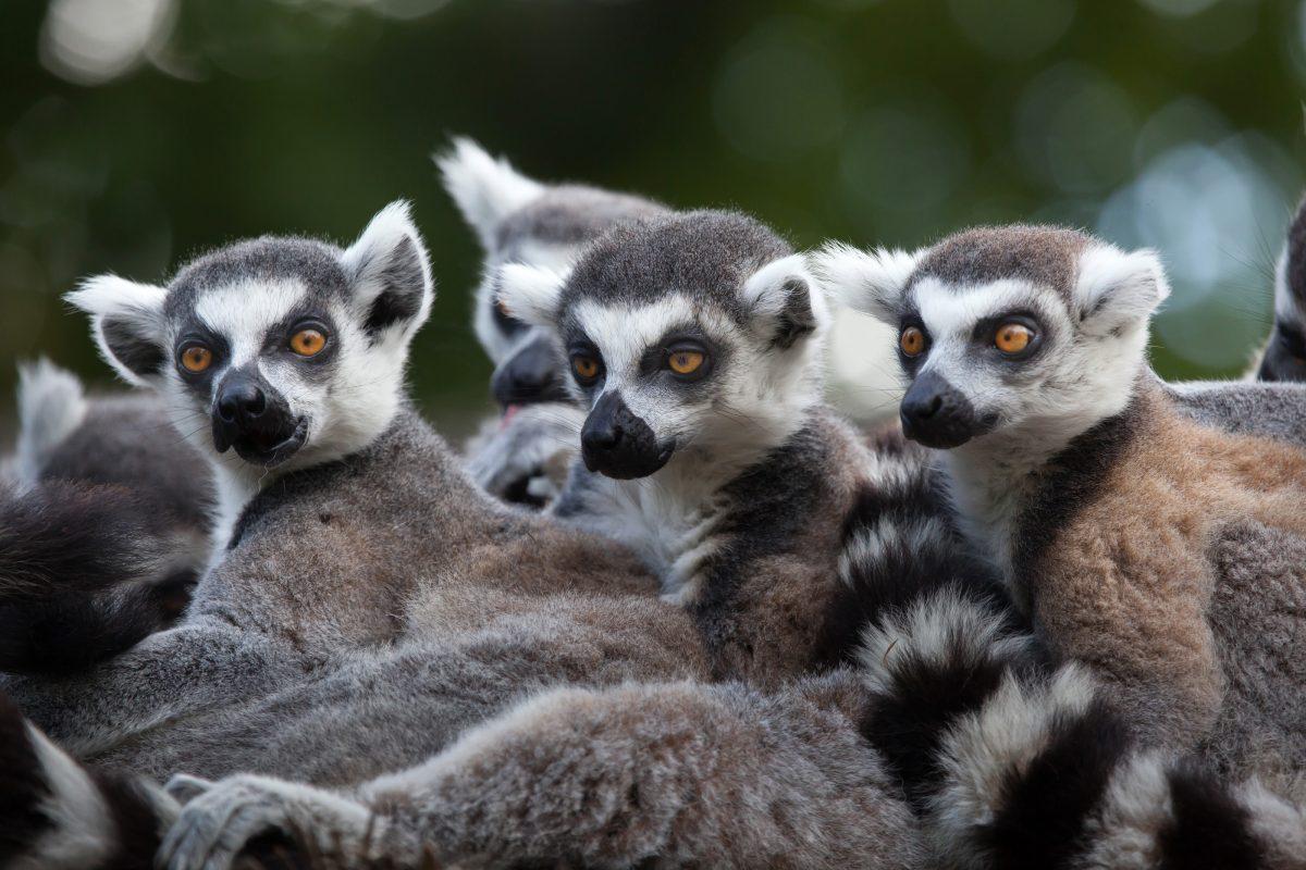 Lemur Forest